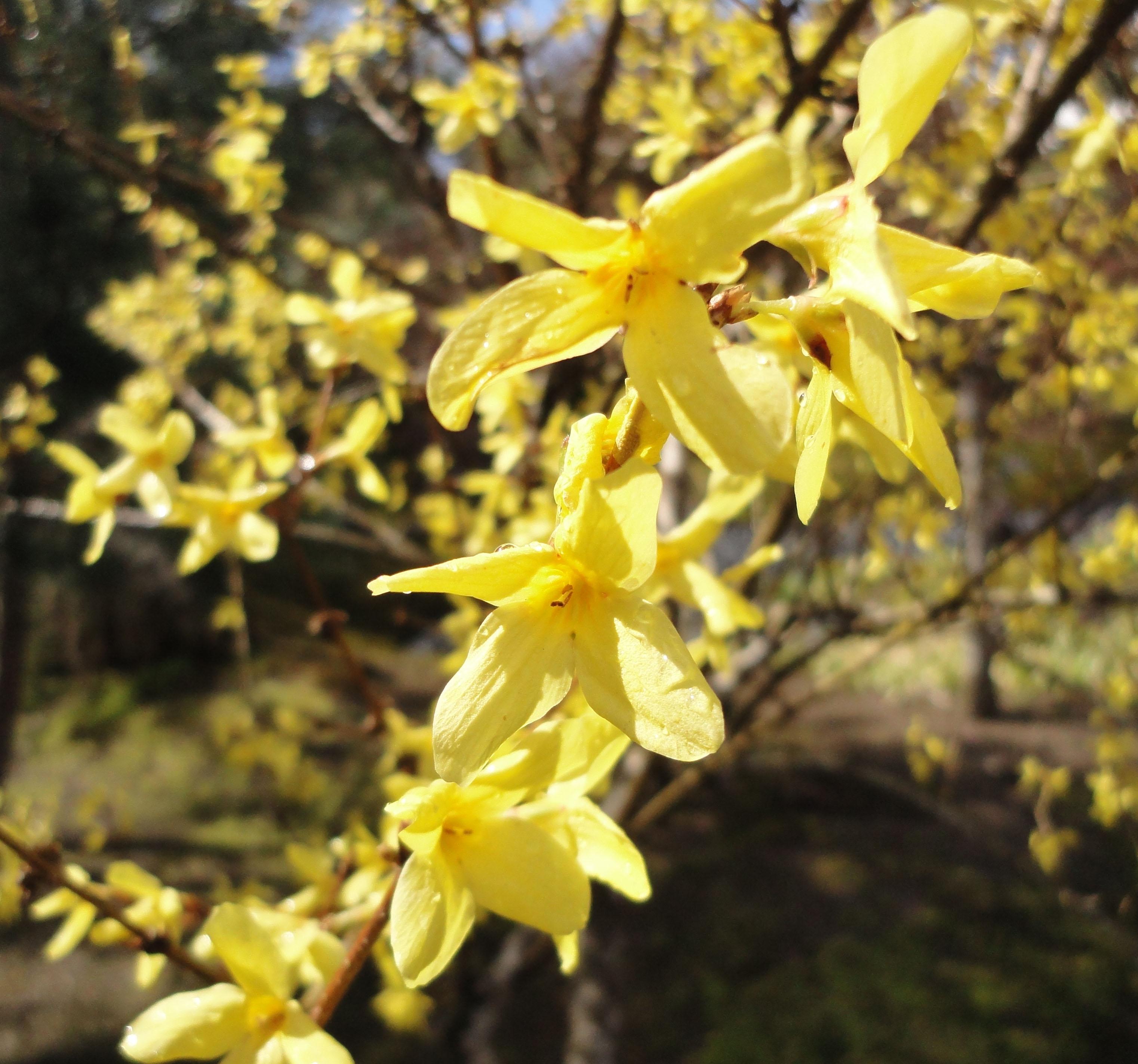 Asisbiz Sogenchi Rinzai Zen Garden Yellow Flowering Shrubs During