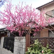 Asisbiz Togetsukyo street walk ways with the famous pink cherry blossoms Mar 2020 01
