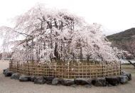 Asisbiz Islands center attraction is this big Cherry Tree Kyoto 01