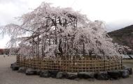 Asisbiz Islands center attraction is this big Cherry Tree Kyoto 02