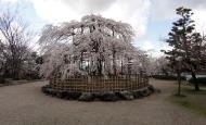 Asisbiz Islands center attraction is this big Cherry Tree Kyoto 04