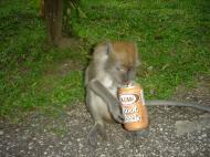Cynomolgus Monkey female having root beer Batu Caves Sep 2000 01