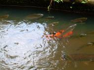 Asisbiz Kuala Lumpur Lake Gardens Japanese Carp Mar 2001 02