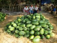 Asisbiz Local cottage industry farming watermellon production village distribution centers 01