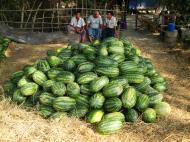 Asisbiz Local cottage industry farming watermellon production village distribution centers 02