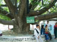 Asisbiz Kuthodaw Pagoda 250 year old star flower tree Nov 2004 01