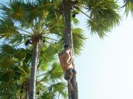 Asisbiz Driving panoramic scenes making palm joice Nov 2004 09