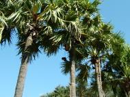 Asisbiz Driving panoramic scenes making palm joice Nov 2004 10