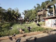 Asisbiz Meilamu Pagoda feeding the Pigeons Yangon Myanmar 05