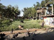 Asisbiz Meilamu Pagoda feeding the Pigeons Yangon Myanmar 11