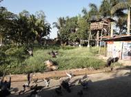 Asisbiz Meilamu Pagoda feeding the Pigeons Yangon Myanmar 12