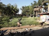 Asisbiz Meilamu Pagoda feeding the Pigeons Yangon Myanmar 13