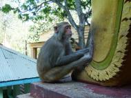 Asisbiz Mandalay Mount Popa Monkeys macaques Nov 2004 02