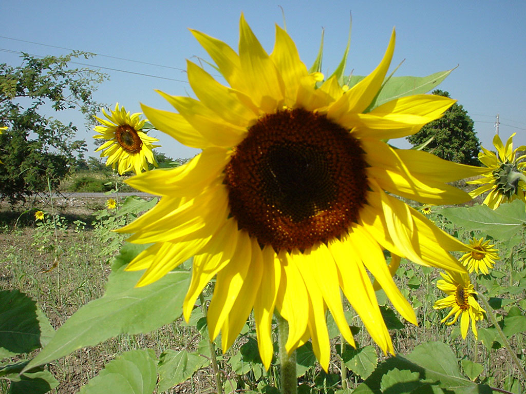 Myanmar Sagaing agriculture and farming sunflowers 01