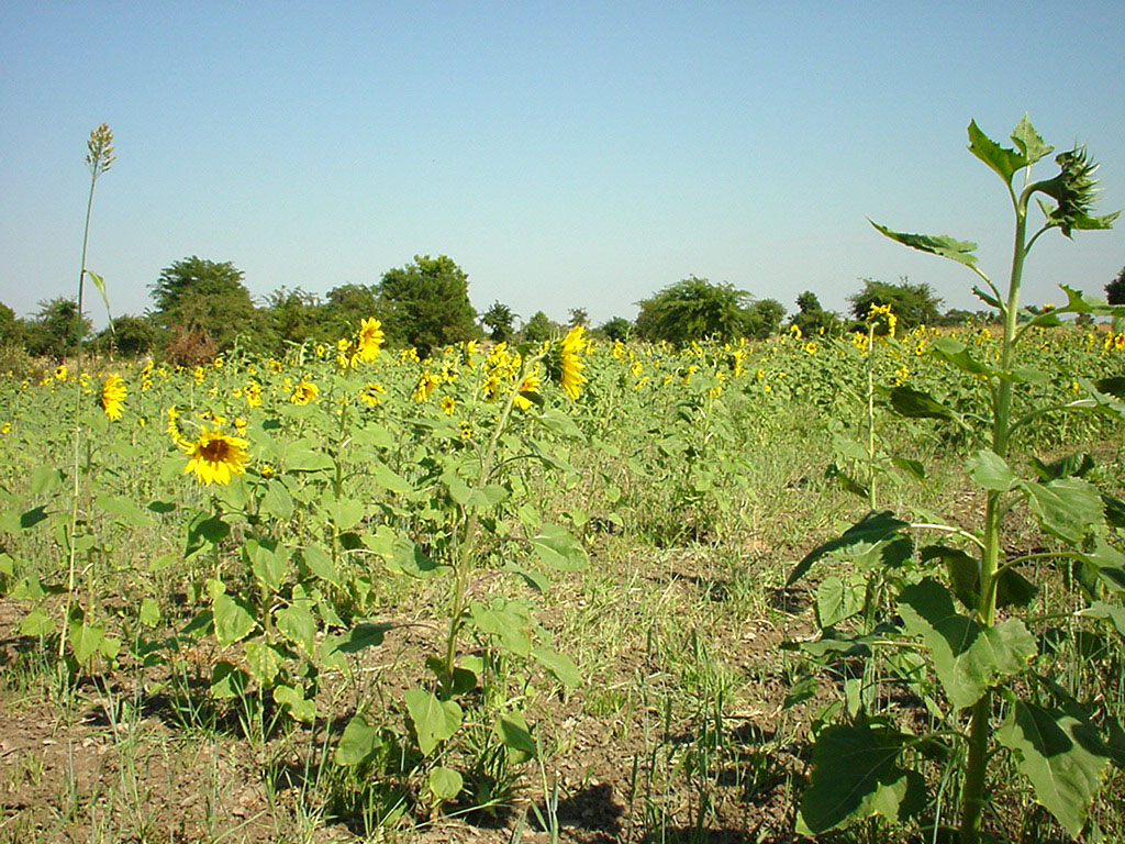 Myanmar Sagaing agriculture and farming sunflowers 02