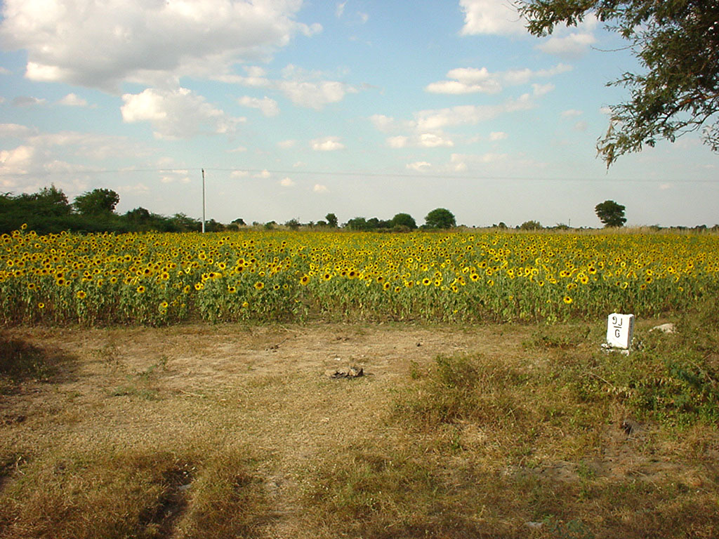 Myanmar Sagaing agriculture and farming sunflowers 03