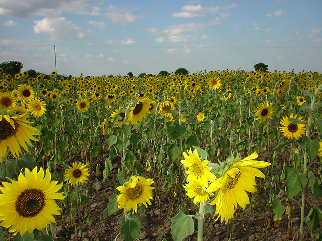 Myanmar Sagaing agriculture and farming sunflowers 04