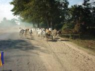 Asisbiz Myanmar Sagaing agriculture and farming cattle 01