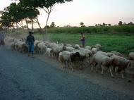 Asisbiz Myanmar Sagaing agriculture and farming sheep 01