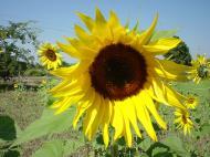 Asisbiz Myanmar Sagaing agriculture and farming sunflowers 01