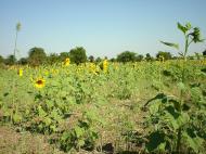 Asisbiz Myanmar Sagaing agriculture and farming sunflowers 02