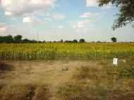 Asisbiz Myanmar Sagaing agriculture and farming sunflowers 03