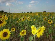 Asisbiz Myanmar Sagaing agriculture and farming sunflowers 04