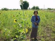 Asisbiz Myanmar Sagaing agriculture and farming sunflowers 05