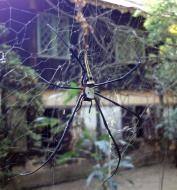 Asisbiz Spider Burmese Golden Orb weavers Nephila Myanmar Jan 2010 01