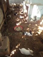 Asisbiz U To near Hle Guu way to Prome pet rabbits Jan 2010 02