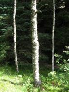 Asisbiz Norwegian Birch trees Norway 01