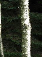 Asisbiz Norwegian Birch trees Norway 02
