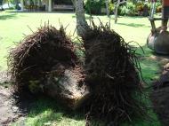 Asisbiz Using a Hitachi Backhoe to remove coco tree stumps Tabinay Philippines 02