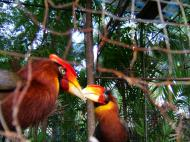 Asisbiz Caged Hornbills what a shame such a nobal looking bird Cebu Moalboal Orchid Farm Dec 2005 02