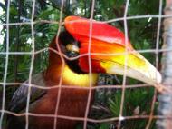 Asisbiz Caged Hornbills what a shame such a nobal looking bird Cebu Moalboal Orchid Farm Dec 2005 04