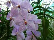 Asisbiz Cebu Moalboal Orchid Farm Dec 2005 03