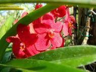 Asisbiz Cebu Moalboal Orchid Farm Dec 2005 13
