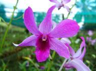 Asisbiz Cebu Moalboal Orchid Farm Dec 2005 28