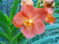 Asisbiz Cebu Moalboal Orchid Farm Dec 2005 31