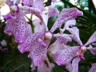 Asisbiz Cebu Moalboal Orchid Farm Dec 2005 32