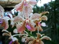 Asisbiz Cebu Moalboal Orchid Farm Dec 2005 33