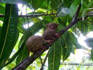 Asisbiz Endangered Philippine Tarsier Tarsius syrichta Maumag Cebuano Visayan 01
