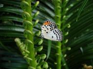 Asisbiz Philippines Mindoro Tabinay Red Pierrot butterfly Talicada nyseus 02