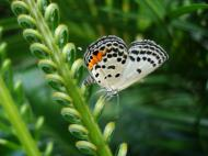 Asisbiz Philippines Mindoro Tabinay Red Pierrot butterfly Talicada nyseus 04