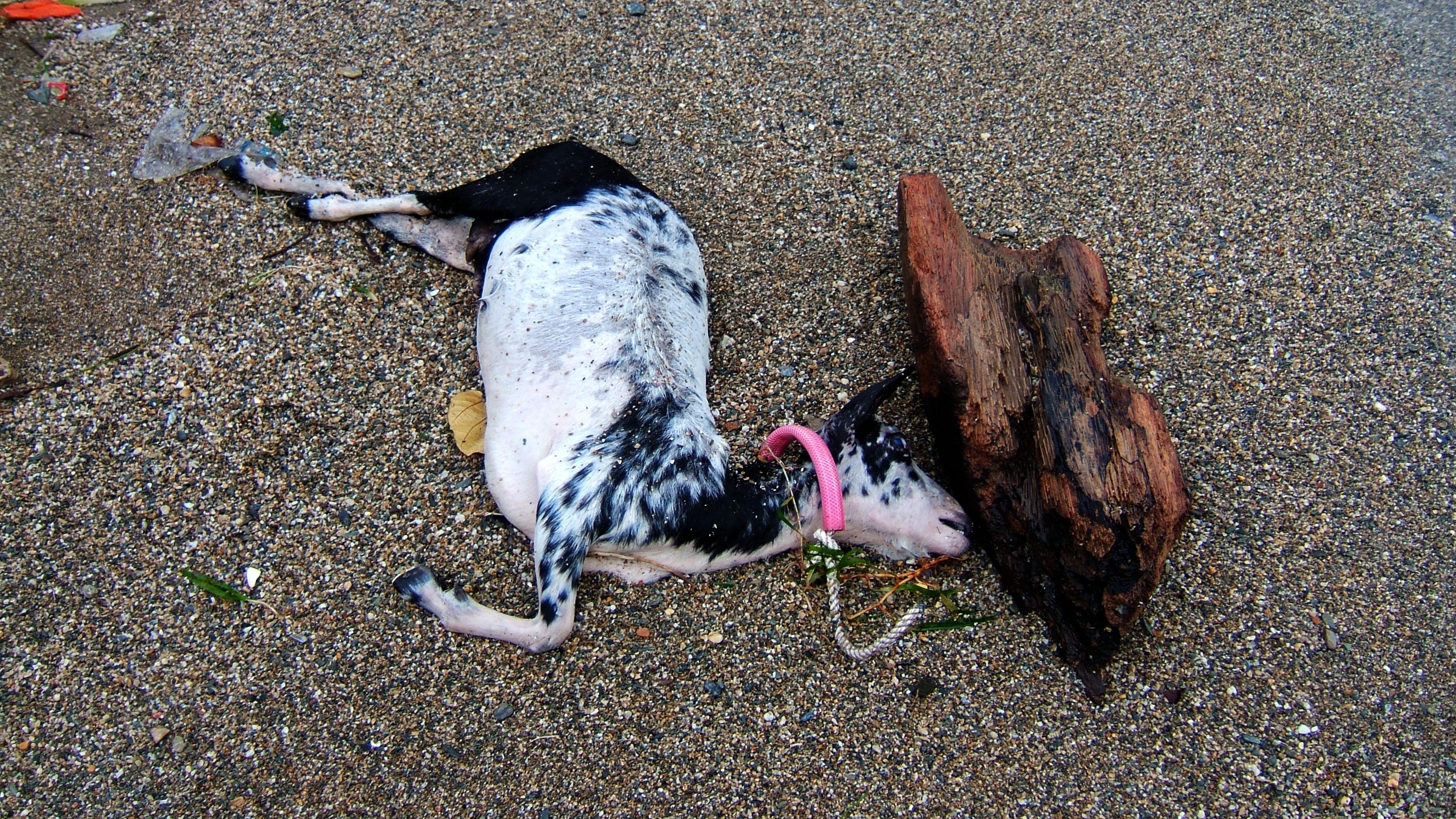 Goat drowned Mindoro Typhoon Chanchu Cat 2 01