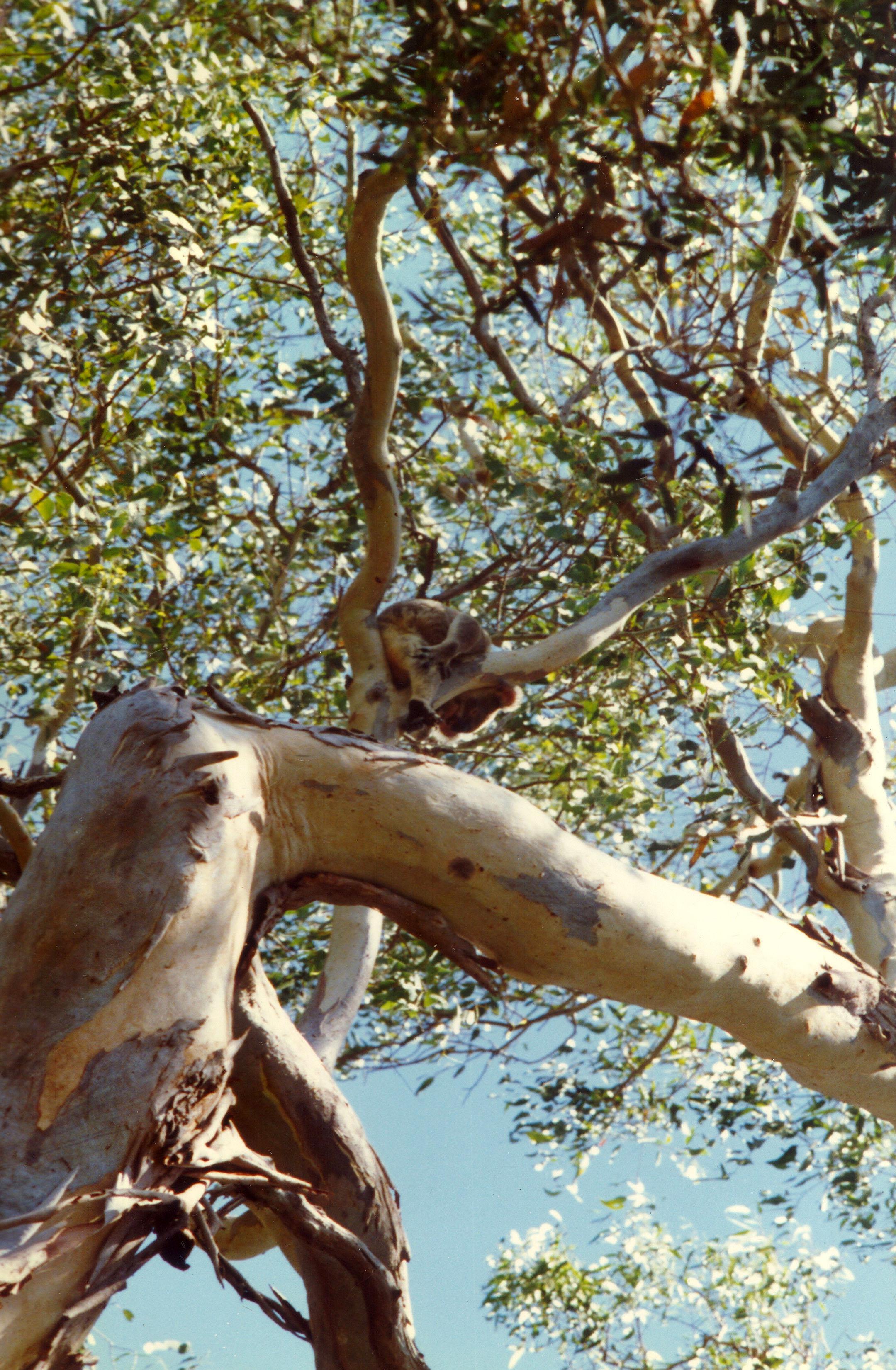 Koala Australia Frazer Island 01