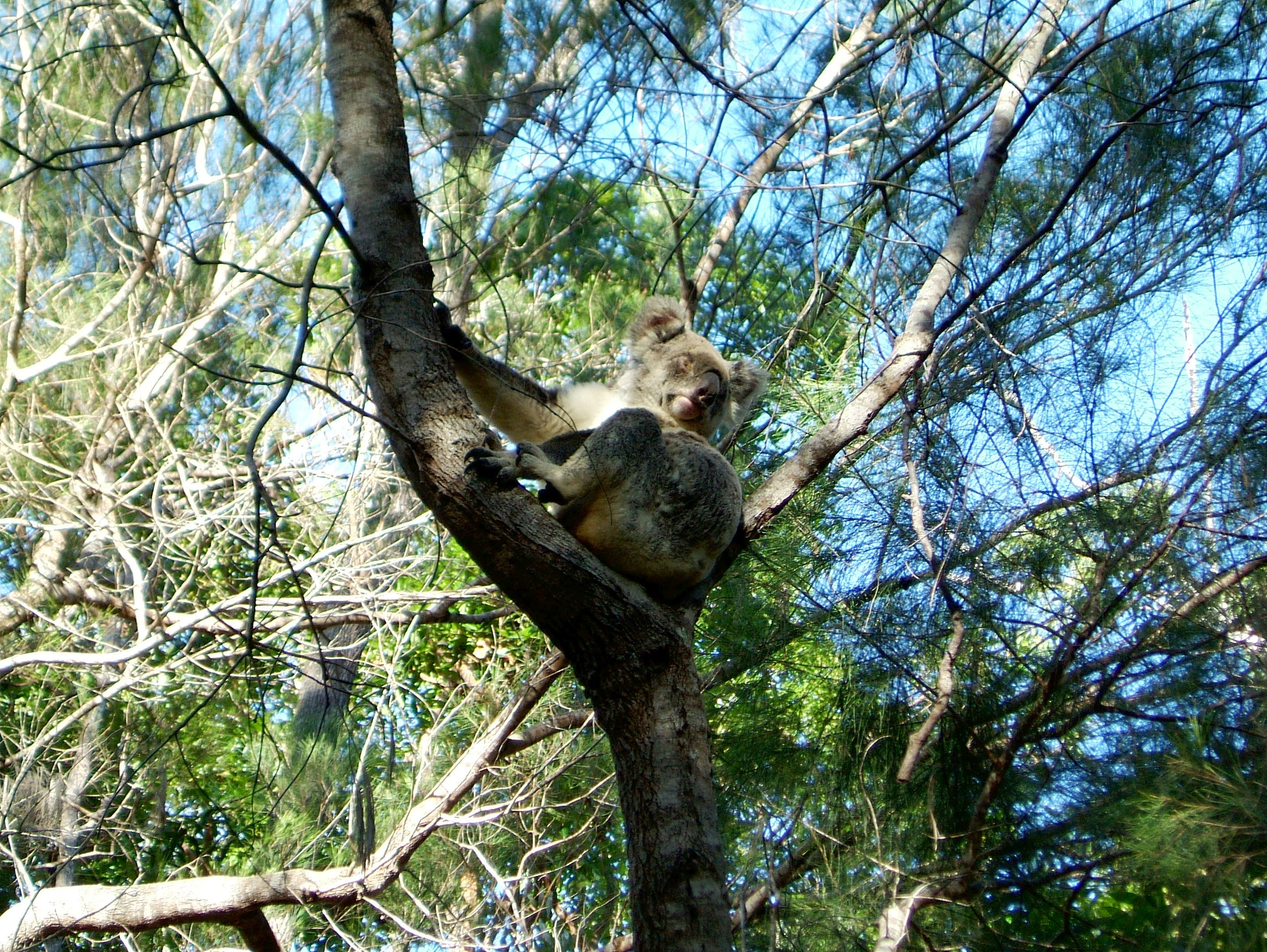 Koala Australia Noosa National Park 02