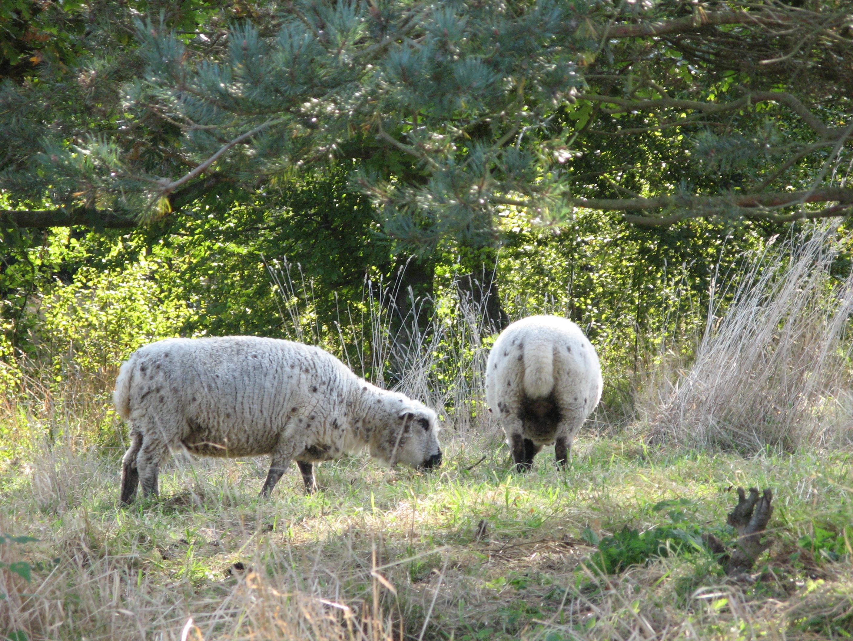 Local livestock sheep Bornholm Denmark 01
