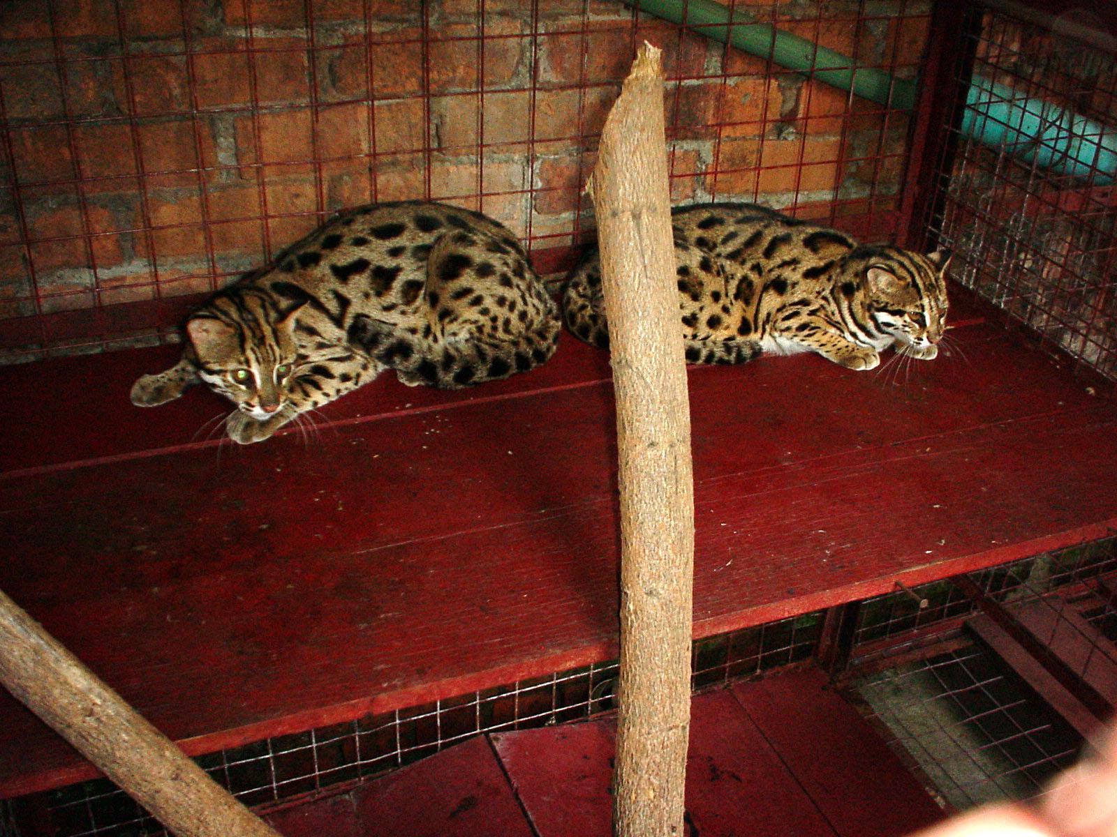 Myanmar Yangon Wild Cats 01