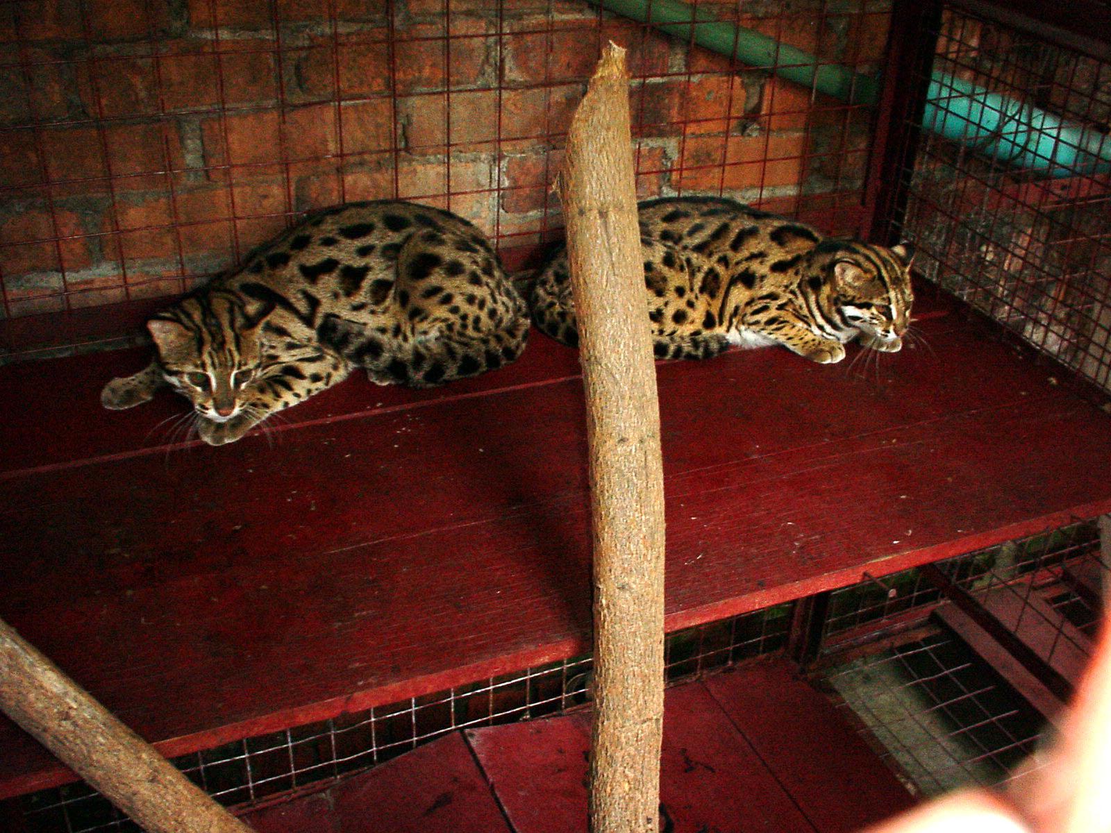 Myanmar Yangon Wild Cats 02
